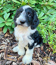black and white labradoodle puppy