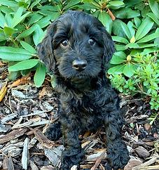labradoodle puppy seattle, WA