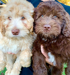 available labradoodle puppy