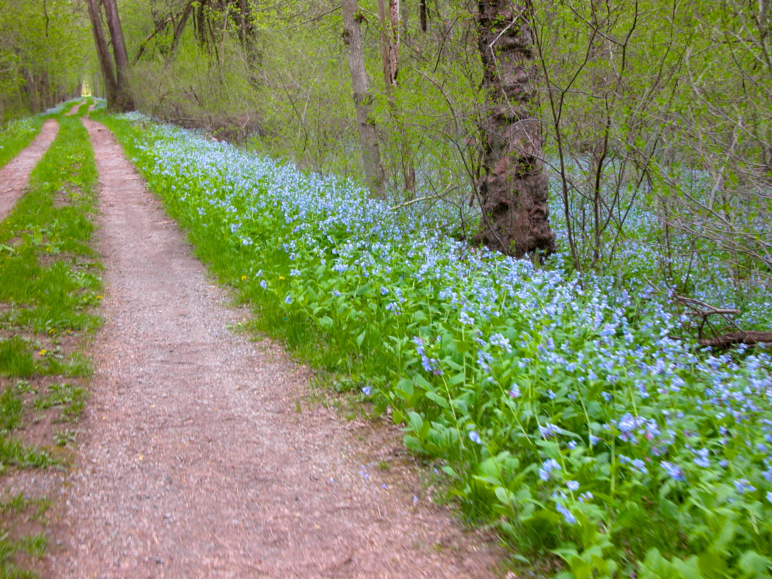 Virginia Bluebells along the towpath