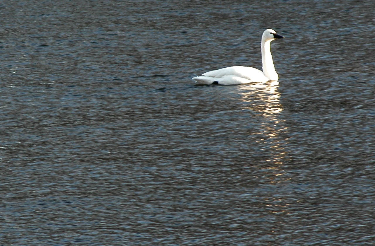 Tundra Swan/winter