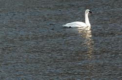 Tundra Swan/winter