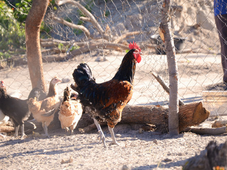 Que haja galinhas!
