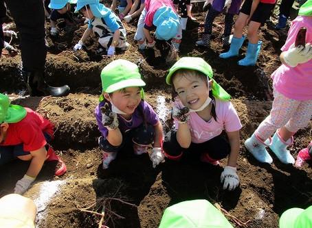 Potato Digging 2020
