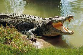 Our Crocodile Pond is Wasting Away - Residents of Kulmasa