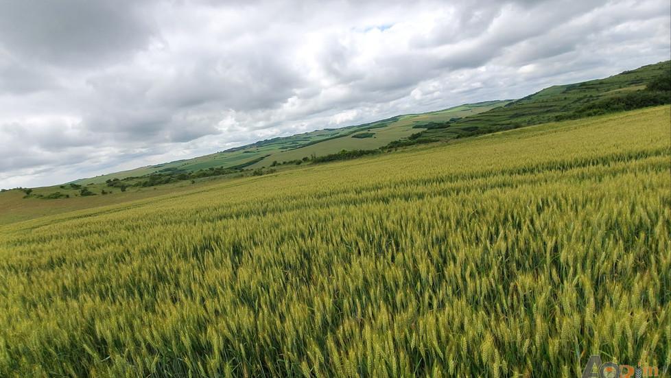 Fertilizarea grâului la ieșirea din iarnă și fazial
