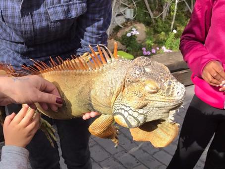 Iguana visita Akua