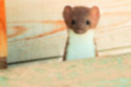 Longtailed Weasel - JP.jpeg