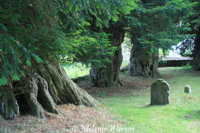 Yew in St Mary's Churchyard