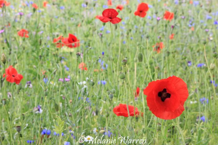 Flora Poppy