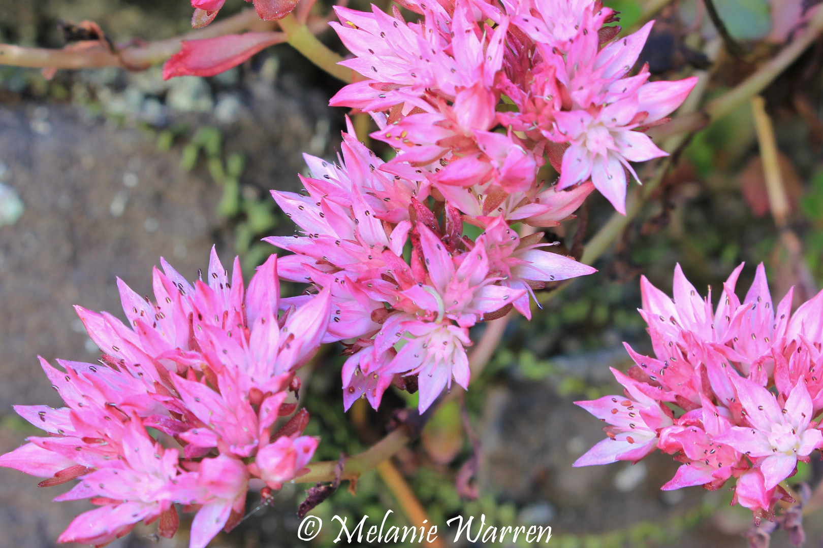 Flora Sedum