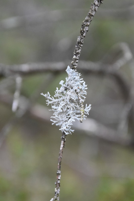Mousse du chêne Evernia Prunastri