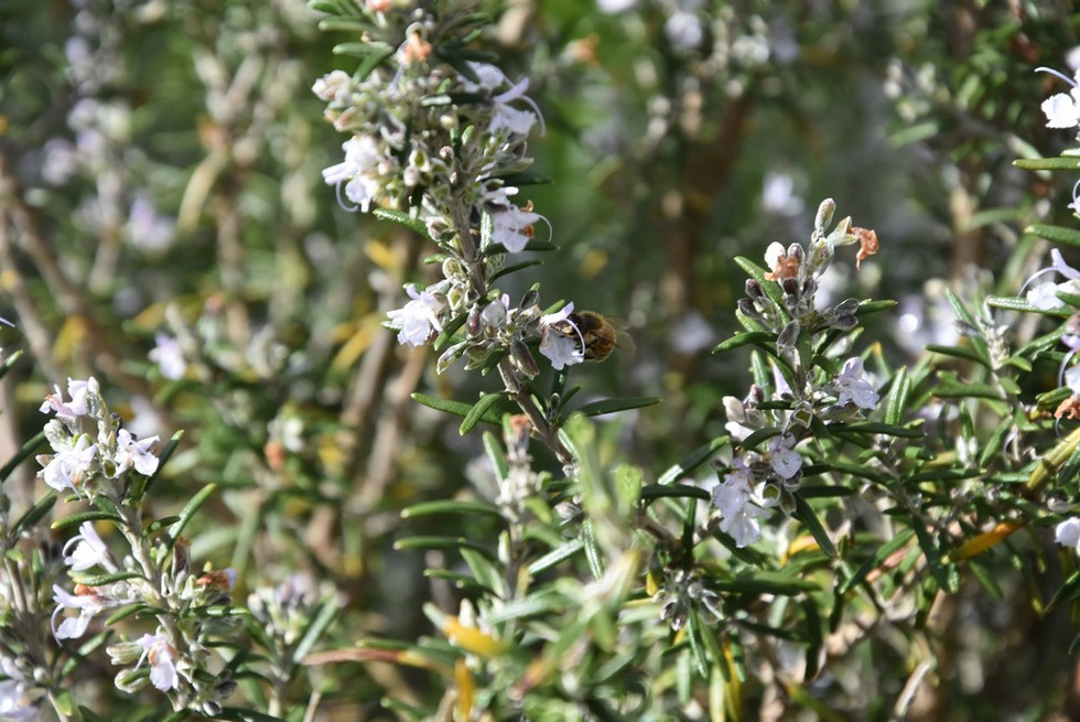 Romarin en fleurs et abeille