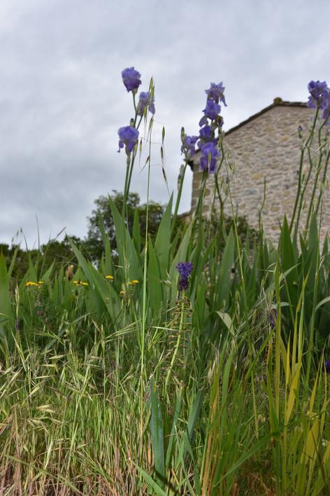 Iris et Muscari à Toupet