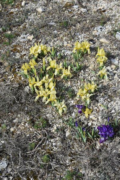 Iris nain