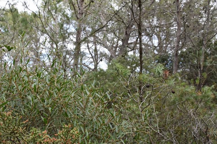 Filaire à feuilles étroites