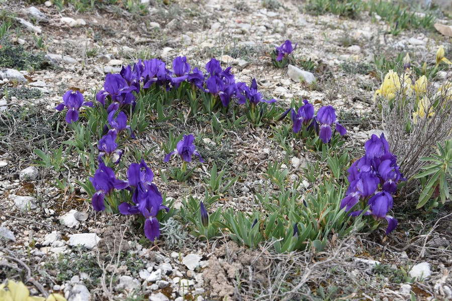 Iris nains