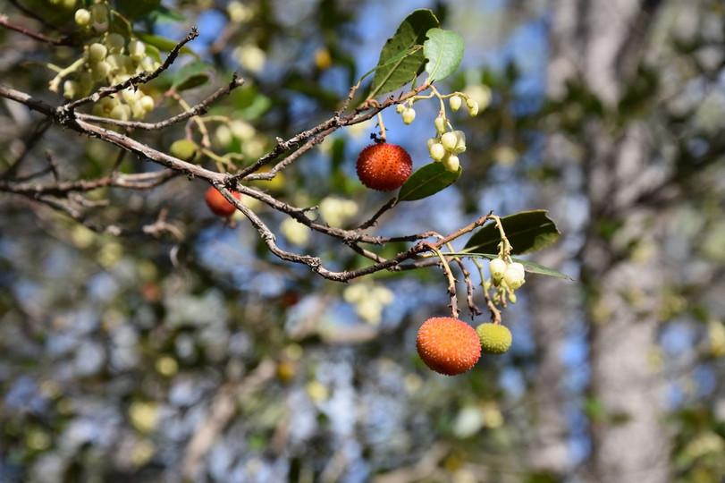 Arbousiers fruits et fleurs