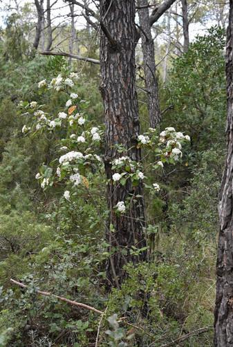 Laurier Tin en fleur