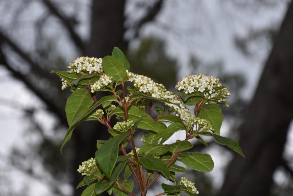 Fleur de Laurier Tin
