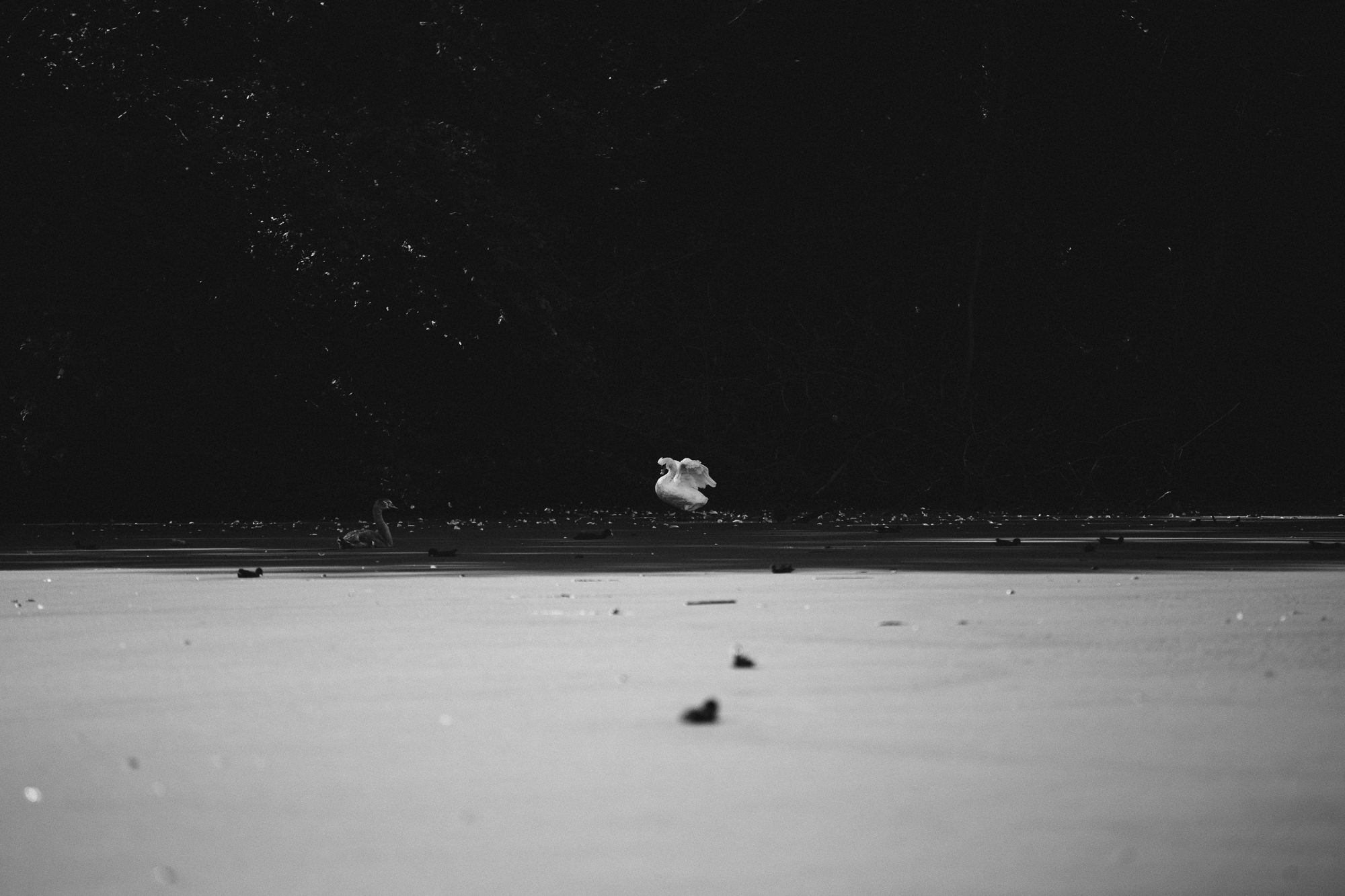 Nature cygne lac Lille NB