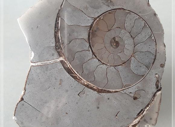 Septaria ammonite 11