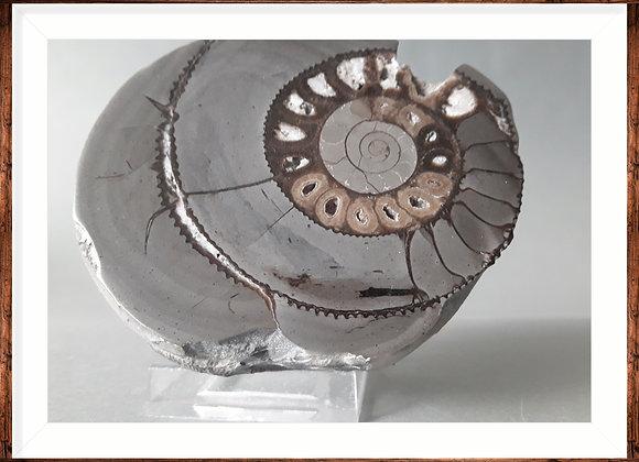 Septaria ammonite 7