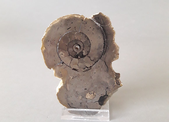 Septaria ammonite 1