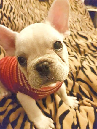 french bulldog puppies nsw