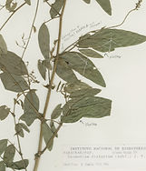 MOBOT herbarium image Vargas Ramirez 359