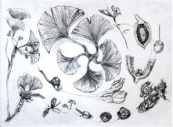 Reproductive Cycle of the Gingko