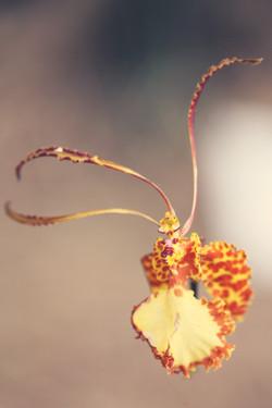 psychopsis kalihi
