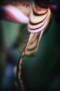 Paphiopedilum glanduliferum