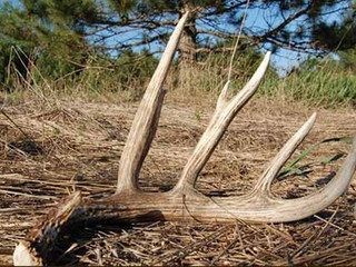 The True Story about Deer Antlers - Are they good or bad for your Pet?