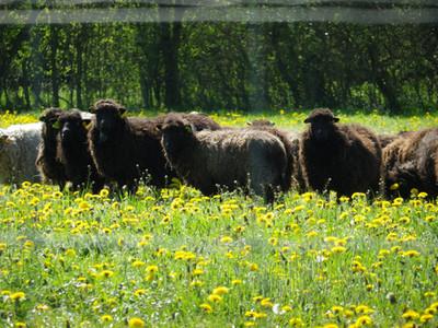 Des moutons d'Ouessant