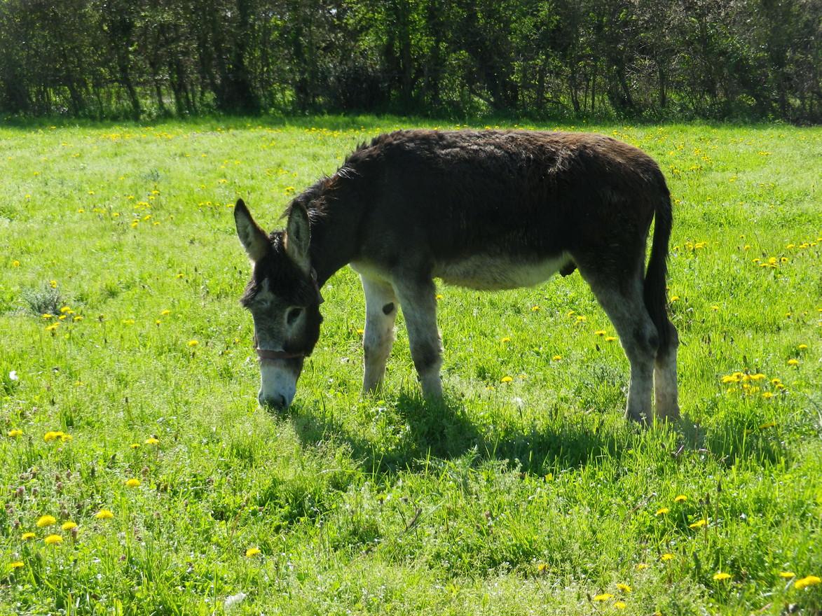Des ânes communs