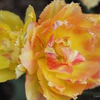 Sorbet Tulips