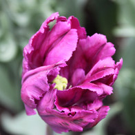 Purple Fringe Tulip