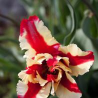 Peppermint Tulip