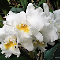 White Ruffled Orchids