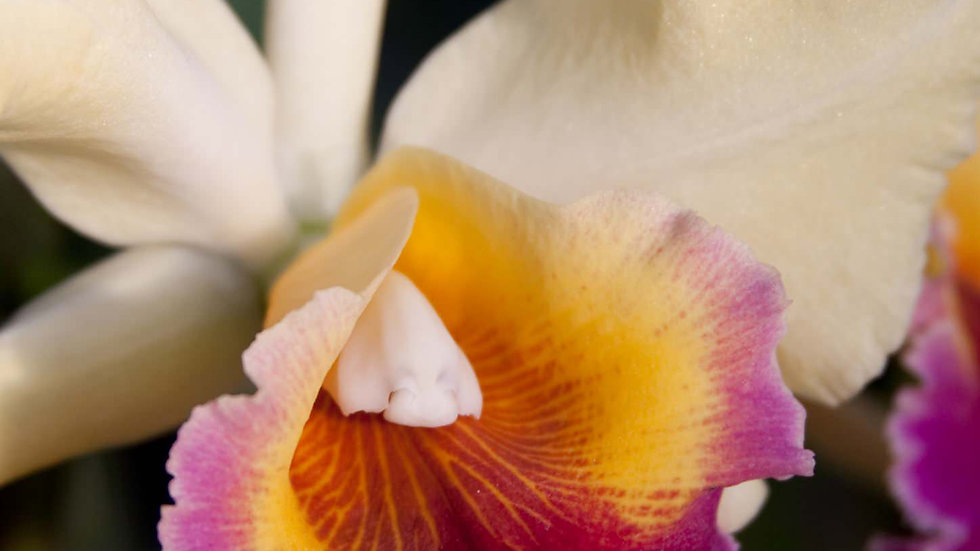 Orchid Bright