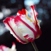 Candycane Tulip