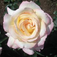 Softest Pink Rose