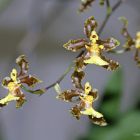 Chocolate Orchids