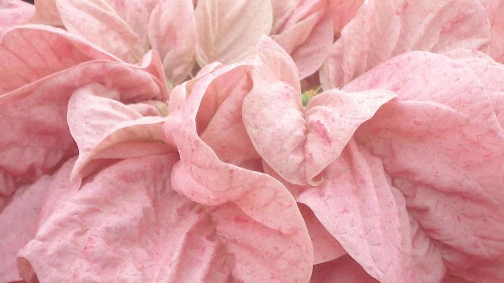 Softest Pink