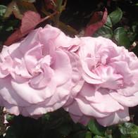 Bluebird Roses