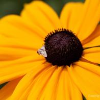 Moth on Rudbeckia