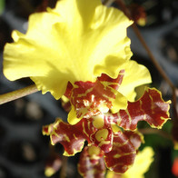 Yellow Chocolate Orchid