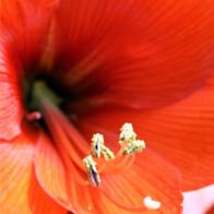 Red Amaryllis