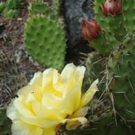 Yellow Cactus Bloom